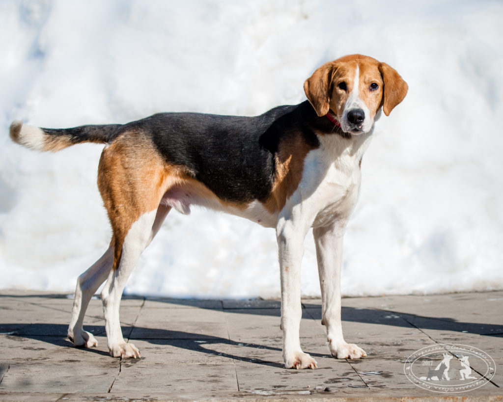 характер породы собаки греческая заячья гончая